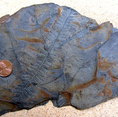 Pecopteris Leaf Imprint
