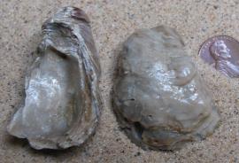 Texigryphaea  oyster fossil (Cretaceous) 135mya - (Miocene) 40mya
