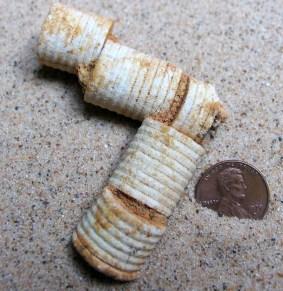 Crinoid Broken Stem Fossils