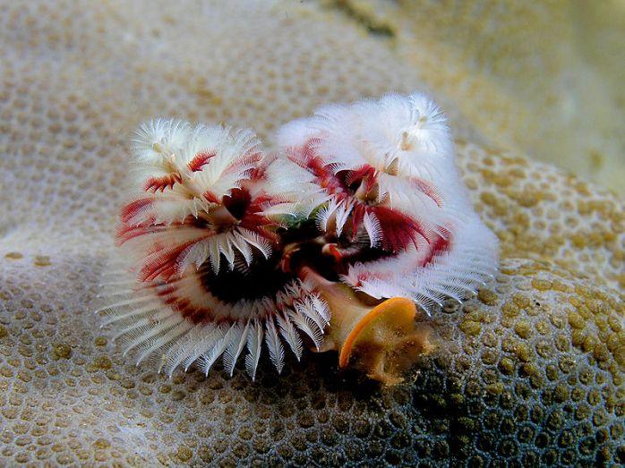 Christmas Tree Tubeworm (photo by Wikipedia)