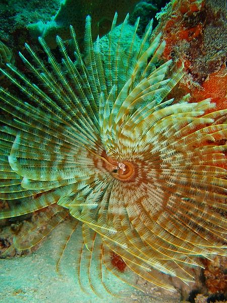 Feather Duster Tubeworm (photo by Wikipedia)