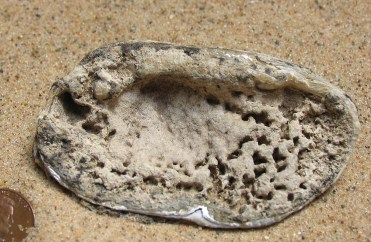 Reverse Side of Clam Shell Fossil