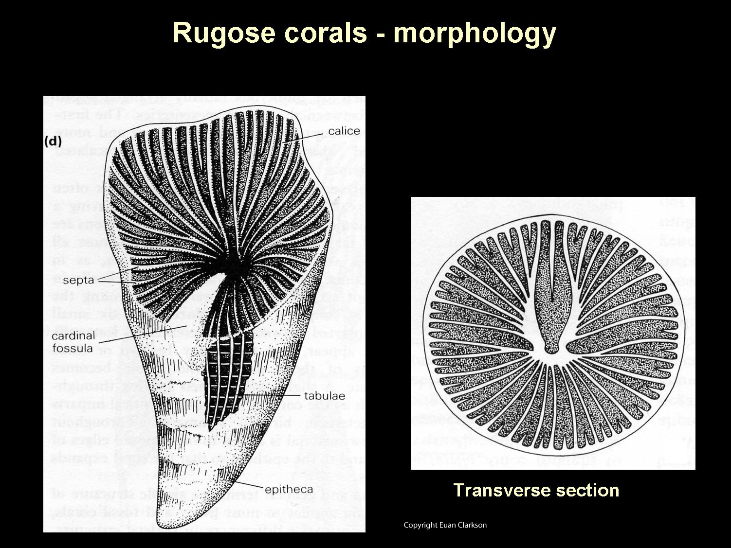 Rugose Coral Morphology Diagram Fossil Lady
