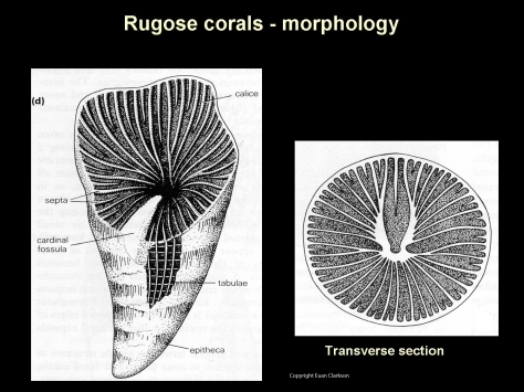 rugose-coral-morphology-diagram