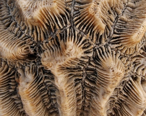 Florida Brain Coral Fossil