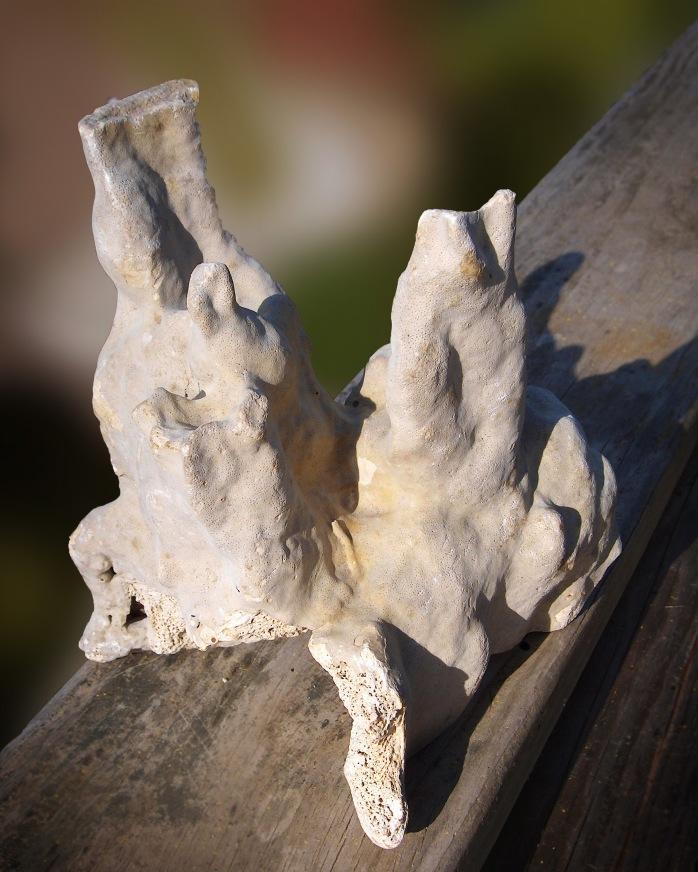 Pillar Coral Fossil (Dendrogyra, cylindricus)