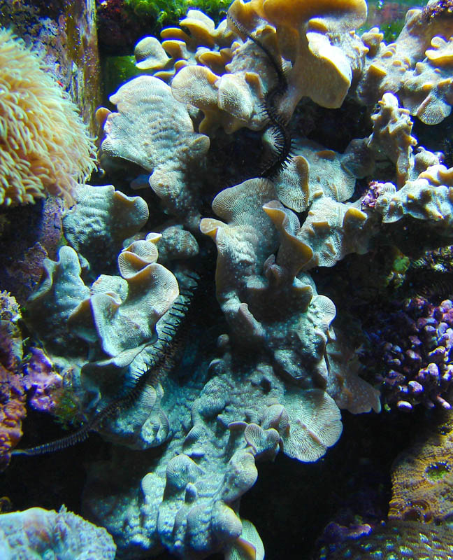 "Cactus Coral Pavona Source: ""Douglas Illistration"":http://www.freewebs.com/douglasillustration/reeftank.htm"