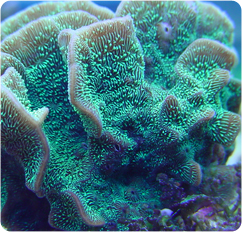 Cactus Coral Pavona