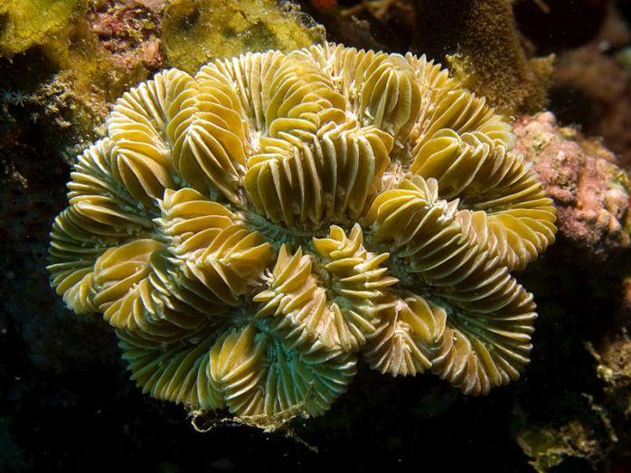 Maze Coral Source: http://en.wikipedia.org/wiki/Meandrina_meandrites