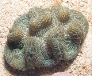 Manicina areolata Source: coral.aim.gov.au