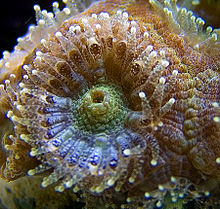 Acanthastrea lordhowensis