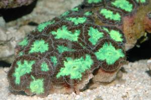 Acanthastrea Source: http://www.wetwebmedia.com/mussidae.htm