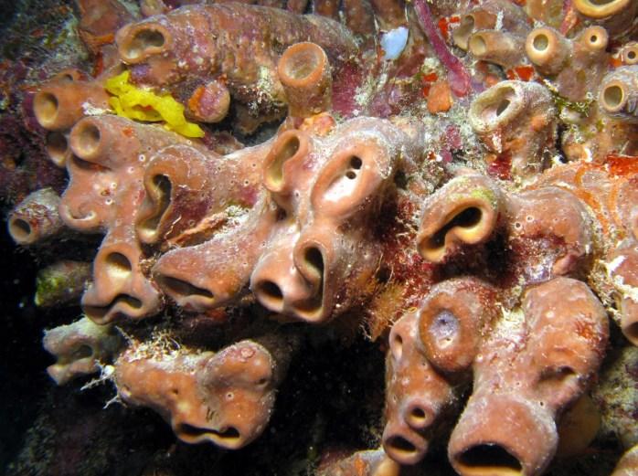 Brown Cluster Tube Sponge Source:  http://reefguide.org/carib/pixhtml/brownclusteredtube1.html