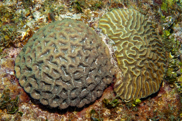 Rough Star Coral, Isophyllastrea rigida on the left and Symmetrical Brain Coral, Diploria strigosa on the right. Source: http://www.livingoceansfoundation.org/photo/jamaica-photos/