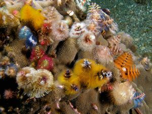 Christmas Tree Tube Worms Source: http://en.wikipedia.org/wiki/File:Spirobranchus_giganteus_(assorted_Christmas_tree_worms).jpg
