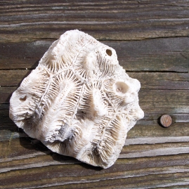 Rose Brain Coral Fossil