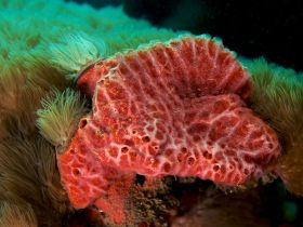 Pink Lumpy Sponge Source:http://commons.wikimedia.org/wiki/File:Monanchora_unguifera_(Pink_Lumpy_sponge).jpg