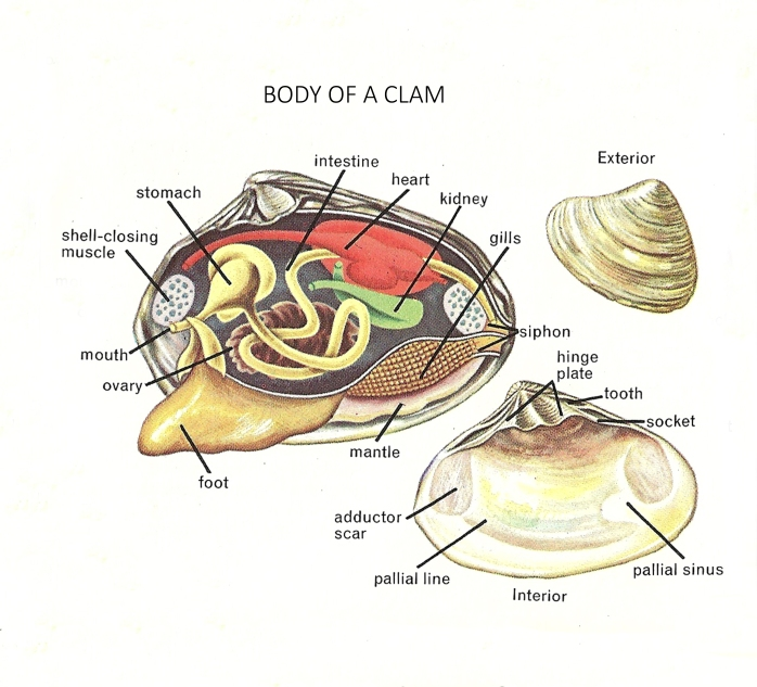 Diagram Of Clam Organs Fossil Lady